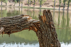 Broken branch snapped over with lake blurred in background. Stock Image