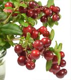 Broken branches of cowberry bush with ripe juicy red berries stand in the water in a glass container Royalty Free Stock Photos