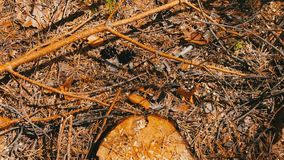 Broken branches from pine tree lie on the ground in the forest. Broken branches from a pine tree lie on the ground in the forest stock footage