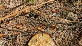 Broken branches from pine tree lie on the ground in the forest. Broken branches from a pine tree lie on the ground in the forest stock video footage