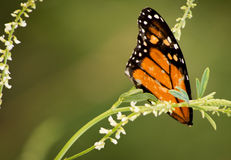 Broken Butterfly Wings Royalty Free Stock Images