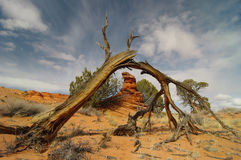 Broken cedar. Broken old dry cedar tree in a desert Royalty Free Stock Photo