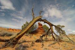 Broken cedar Royalty Free Stock Photo