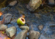 Broken Coconut in a Rocky Stream. A coconut husk floating in a rocky, flowing  jungle stream Royalty Free Stock Photos