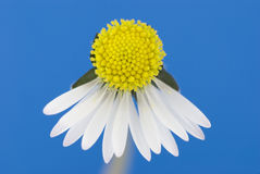 Broken Daisy Royalty Free Stock Image