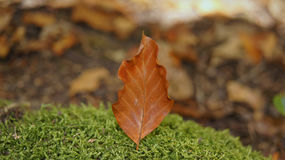 The broken died  leaf fallen on mossy stone Royalty Free Stock Image