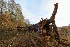 Broken down oak royalty free stock image