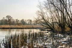 Broken down reed stalks along a creek in the winter. Tree silhouettes and roken down reed stalks along a creek in a Dutch nature reserve in the winter season Stock Images