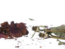 Broken dried faded roses Royalty Free Stock Photography