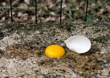 Broken egg - magpie action. Pica pica. Royalty Free Stock Image