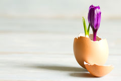 Broken egg and violet crocus easter abstract symbol of new life. Closeup royalty free stock image