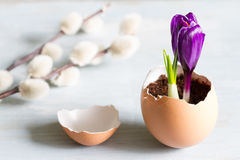 Broken egg and violet crocus easter abstract symbol of new life Stock Image