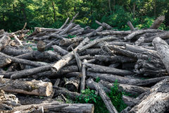Broken Fallen Old Trees Lie In Summer Forest, Ecology Deforestation Concept Royalty Free Stock Images