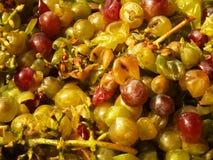 Broken grapes Stock Photography