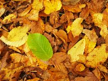Broken green beech leaf on orange beeches leaves ground. Vivid autumn colors. Royalty Free Stock Photos