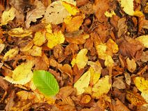 Broken green beech leaf on orange beeches leaves ground. Vivid autumn colors. Royalty Free Stock Photo