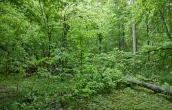 Broken hornbeam tree lying. Against fresh green background Royalty Free Stock Image