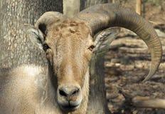 Broken horns on ram close up stock photography