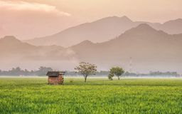 Broken Hut, in the middle of rice field. With vast rice plants and massive mountains in the background Royalty Free Stock Photo