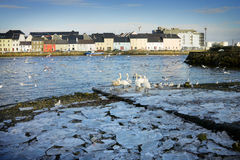 Broken ice on the bank of Corrib river and swans Royalty Free Stock Images