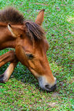 Broken leg horse eating grass Royalty Free Stock Photos