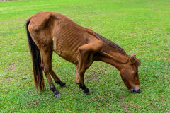 Broken leg horse eating grass Royalty Free Stock Images