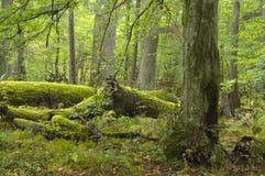 broken liggande oak Royaltyfri Foto