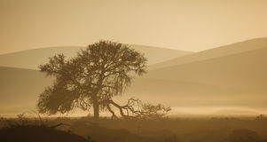 Broken limb tree silhouetted against sepia tone Namibian desert dunes. Royalty Free Stock Images
