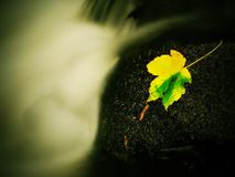 Broken maple colorful leaf. Castaway on wet slipper stone in stream Royalty Free Stock Photo
