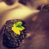 Broken maple colorful leaf. Castaway on wet slipper stone in stream. Autumn colorful leaf. Castaway on wet slipper stone in stream Royalty Free Stock Photo