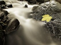 Broken maple leaf. Autumn colorful leaf. Castaway on wet slipper stone in stream Royalty Free Stock Photos