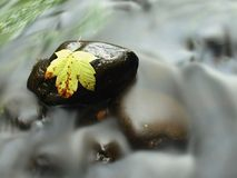 Broken maple leaf on basalt stone in water of mountain river, first autumn leaves Royalty Free Stock Image