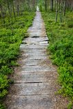 Broken nature trail with blueberry plants. Old worn and broken nature pathway Royalty Free Stock Photography