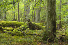 Broken oak lying. On forest bottom wrapped by moss,middle europe,poland,bialowieza forest royalty free stock photo