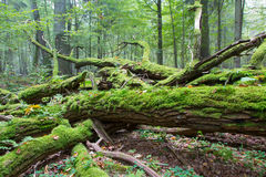 Broken oak tree branch moss wrapped. Fresh deciduous stand of Bialowieza Forest in springtime with dead broken ash tree in foreground,Bialowieza Forest,Poland Stock Photography