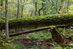 Broken oak tree moss wrapped trunk Stock Photography