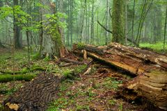 Broken old large oak and misty stand in background royalty free stock image