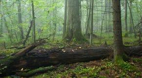 Broken old oak in misty forest Stock Image