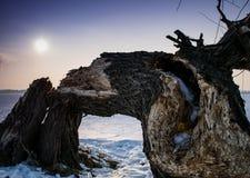 Broken old tree. Capturing an old broken tree in a strange bending position Stock Image