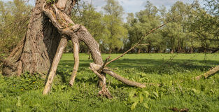 Broken old willow branch Royalty Free Stock Image