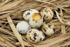 Broken partridge egg Royalty Free Stock Images