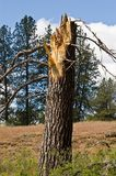 Broken Pine Tree Stock Images