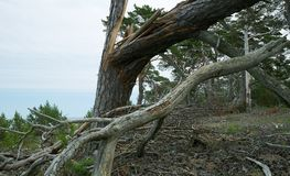 Broken pine tree with fallen branch, ocean in the background Royalty Free Stock Images