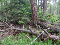 Broken pine tree lying. On Stag`s-Horn Clubmoss bed in summer, Bialowieza Forest, Poland, Europe Stock Image