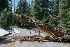 Broken Pine Tree obstructing the road. Fallen Pine Tree obstructing the road in the end of a snowy winter in the Sierra Nevada of California, USA stock images