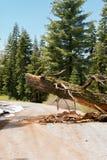 Broken Pine Tree obstructing the road Stock Image