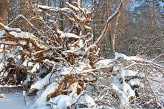Broken pine tree Stock Photo