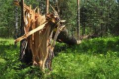 Broken pine Stock Photo