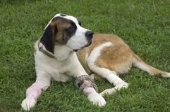 Broken Puppy. A young St. Bernard rests comfortably on green grass after having both front legs operated on after being hit be a car Stock Photography