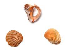 Broken rapana and seashells Stock Image